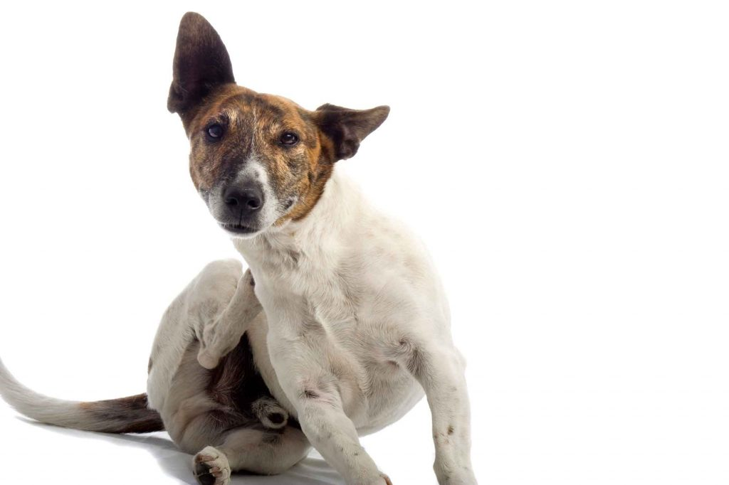 A white and brown dog scratching