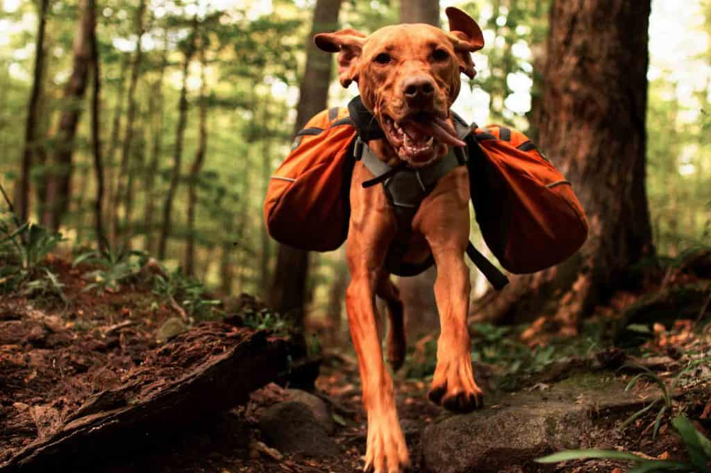 A big dog running through the woods with carry bags
