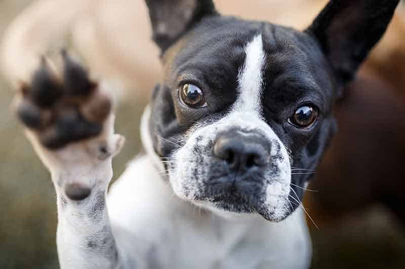 A black and white Boston Terrier holding a paw up