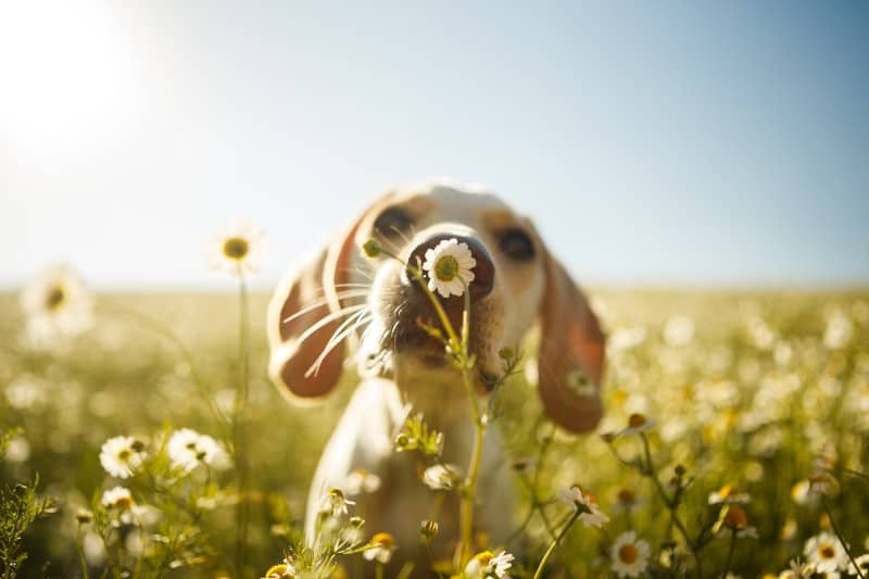 A dog sniffing a flower in a field