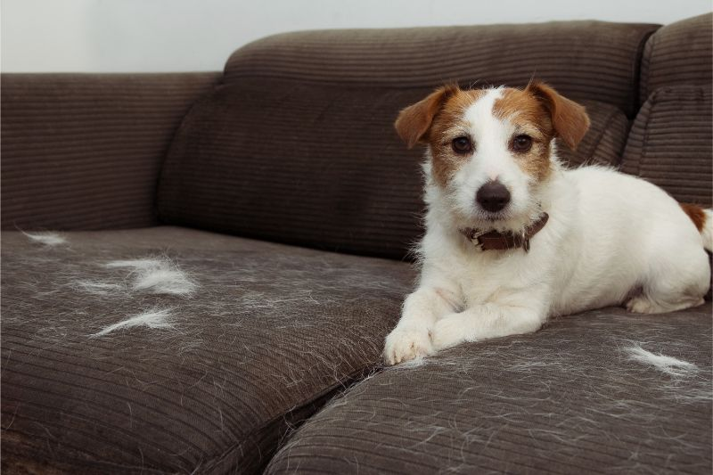 A white dog on a couch that has shed all over