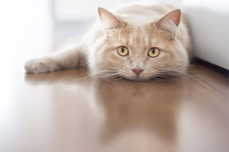 A beige colored cat lays on a light brown floor near a cream-colored couch